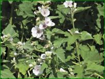Облепиха лучше растет на легких супесчаных, но плодородных или хорошо удобренных почвах