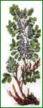 Натурализация и акклиматизация крупноплодных боярышников