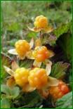 Растения, чьи свойства оказались лучшими по накоплению защитных соединений